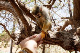 Lemur eats mandarin